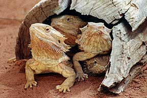 Alice Springs Reptile Centre - Lightning Ridge Tourism