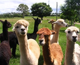 Banyandah Alpacas - Lightning Ridge Tourism
