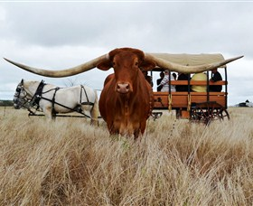 Texas Longhorn Wagon Tours and Safaris - Lightning Ridge Tourism